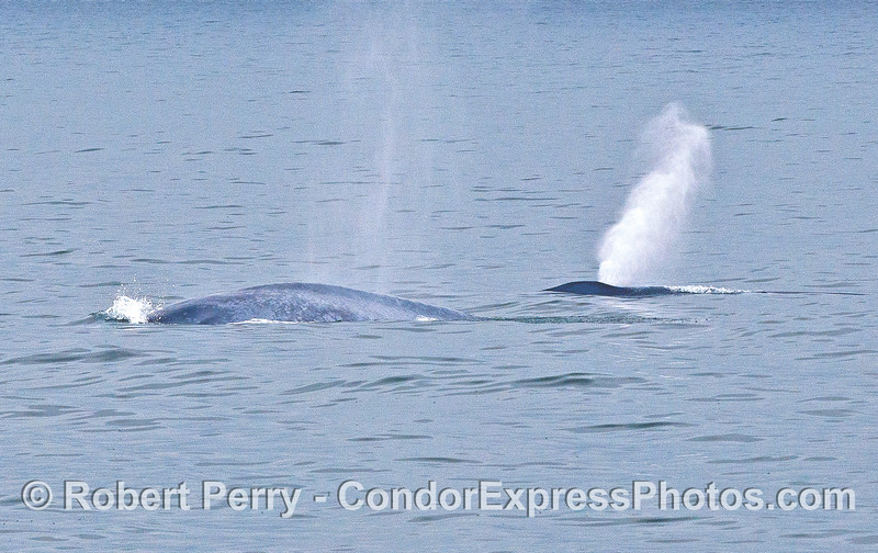 A pair of blue whales on the surface.