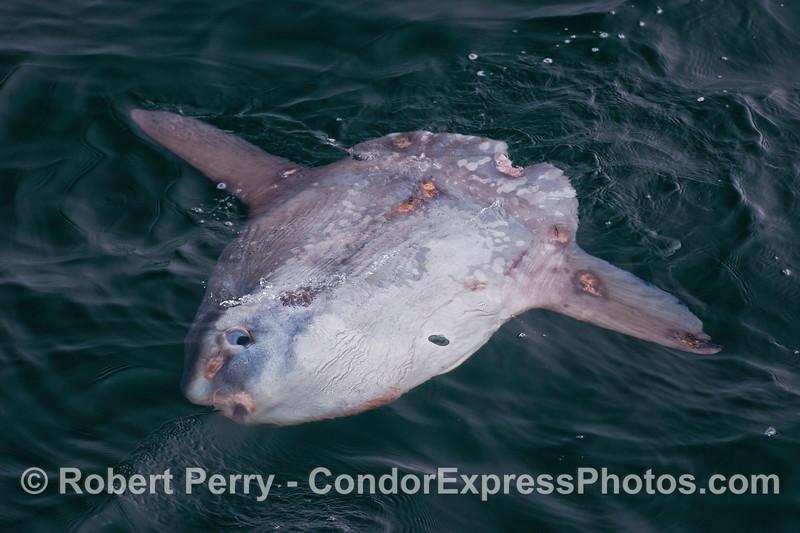 Ocean sunfish, Mola mola