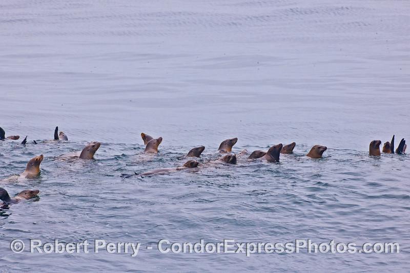 Mob of California sea lions.