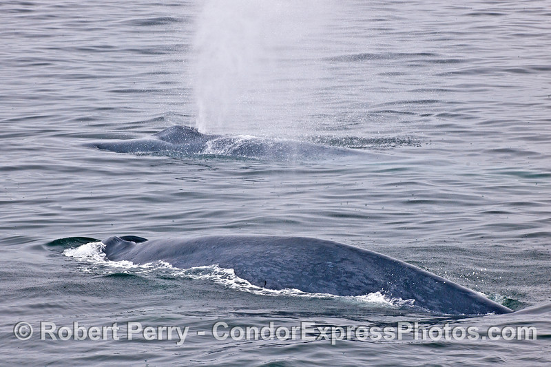 Two of the many blue whales surface together.