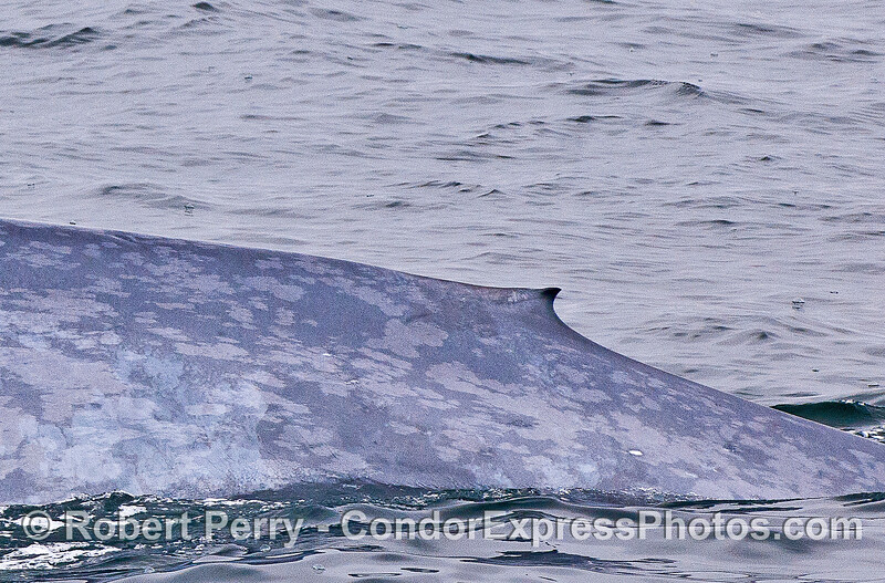 Tiny dorsal fin of a giant blue whale.