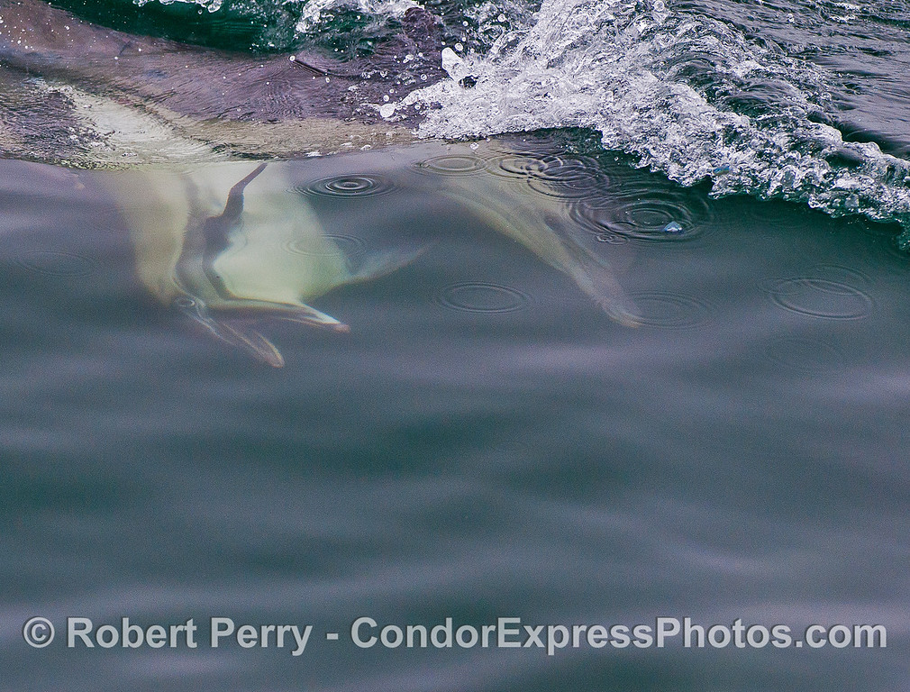 Male with mouth open is chasing a female long beaked common dolphin