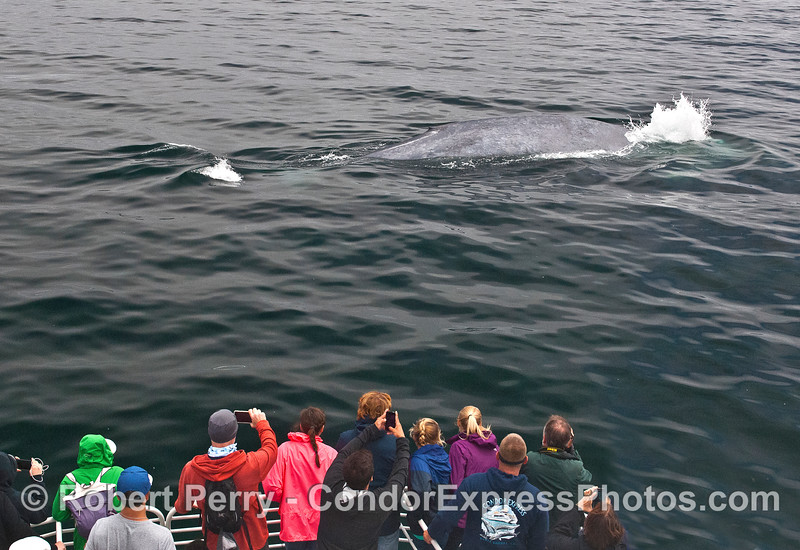 A giant blue whale makes a friendly pass by the boat.