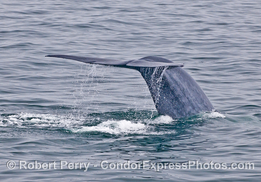 Image 2 of 3:  a blue whale tail flukes sequence.
