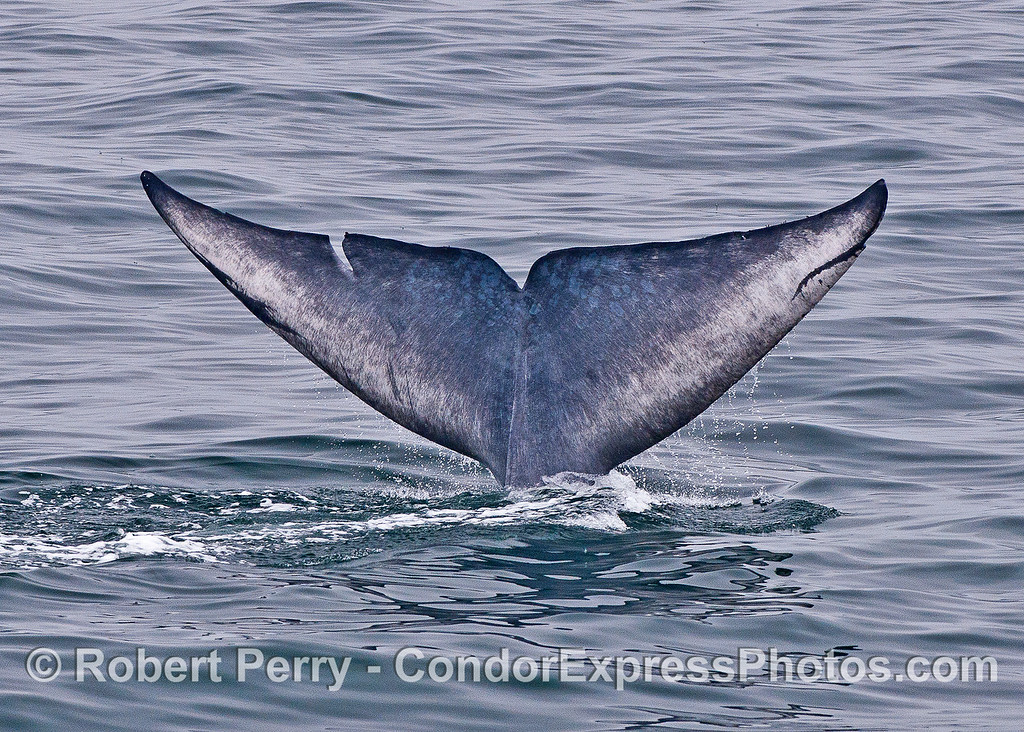 Image 3 of 3:  a blue whale tail flukes sequence.