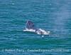Megaptera novaeangliae head lift busting through waves 2016 06-14 SB Channel-c-003