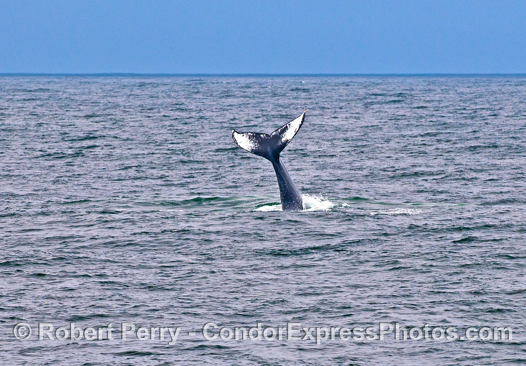 Humpback - tail throwing