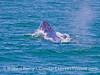Megaptera novaeangliae head lift busting through waves 2016 06-14 SB Channel-c-002