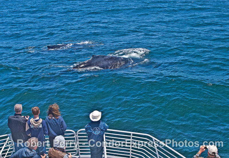 A pair of friendly humpback whales