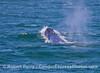 Megaptera novaeangliae head lift busting through waves 2016 06-14 SB Channel-c-001