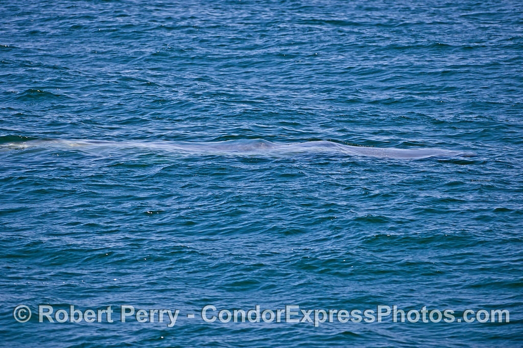 The blue streak,  A submerged blue whale.
