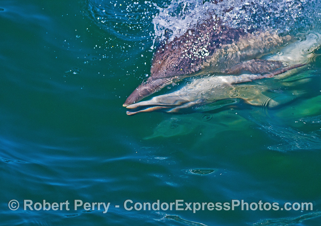 Long-beaked common dolphins mating sequence.