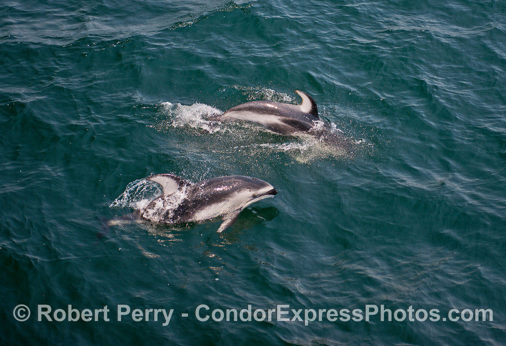Pacific white-sided dolphins.