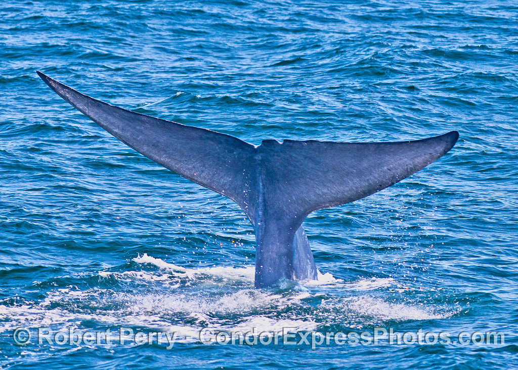 Blue whale tail flukes.