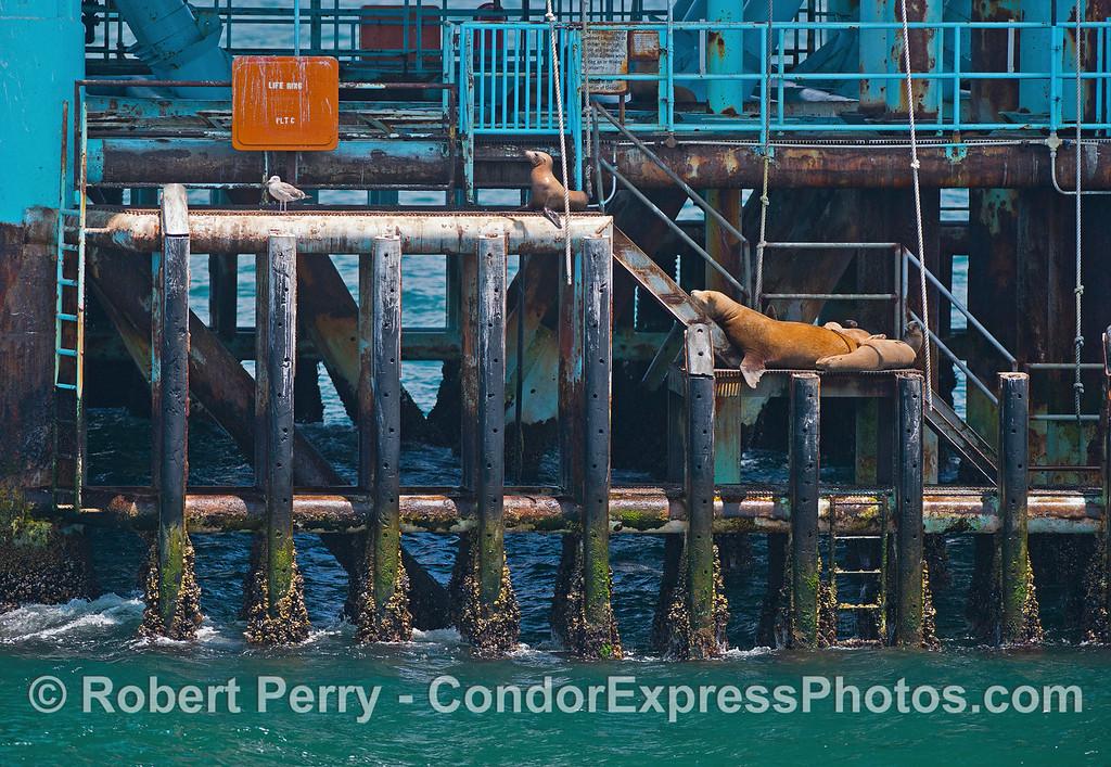 Zalophus californianus on Platform Charlie 2016 06-19 SB Channel-006