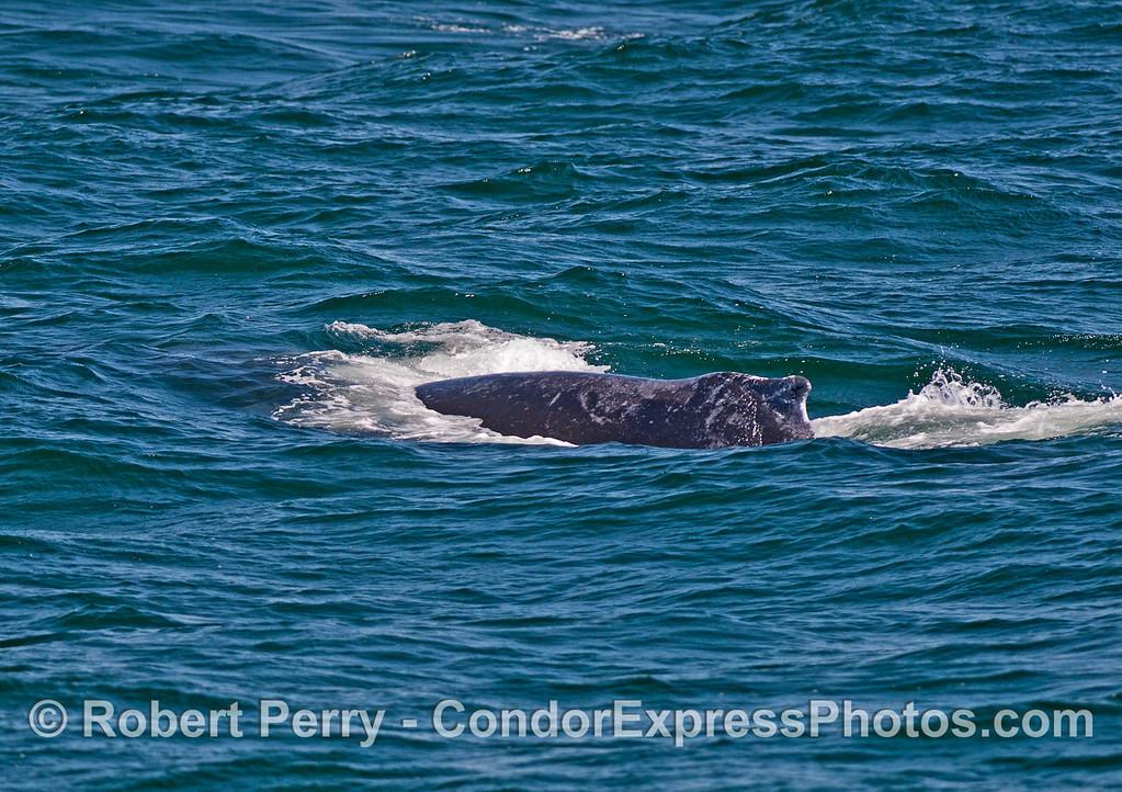Humpback whale moving through choppy seas.
