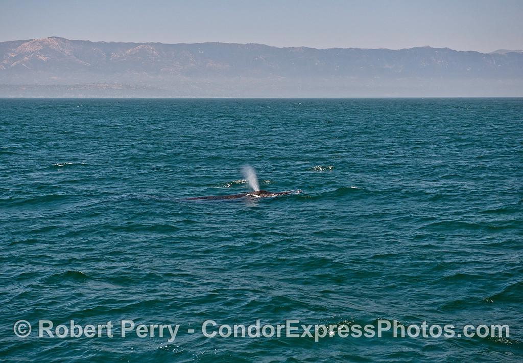 Spouting humpback whale.