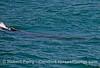 Megaptera novaeangliae riding wave 2016 06-20 SB Channel-b-002