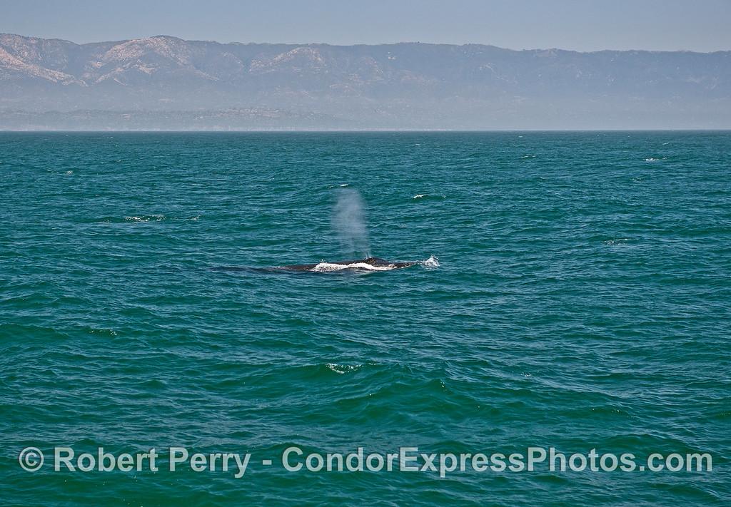 Heading down-swell - humpback whale.