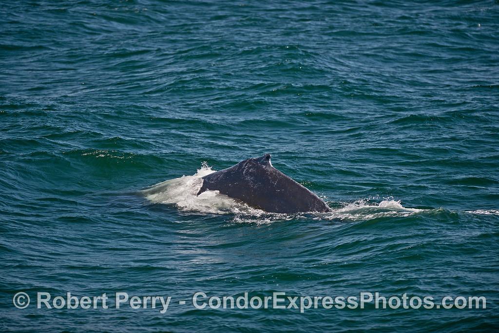 Choppy sea surface - humpback whale.