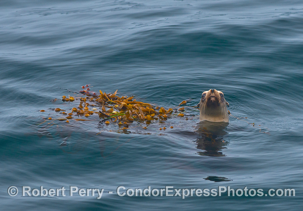 Image 1 of 2:  A California sea lion hugs a small drifting giant kelp paddy for partial camouflage in the middle of the Santa Barbara Channel.