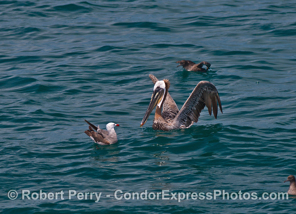 Image 2 of 2:  A Heermann's gull and a brown pelican face off.