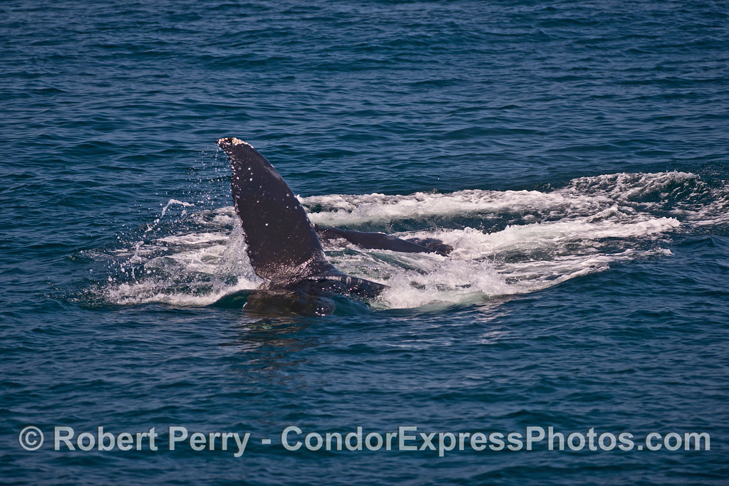 Image 3 of 3:  Surface lunge-feeding humpback whale.