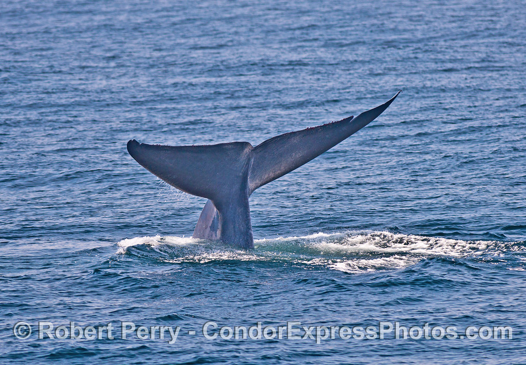 Image 3 of 5:  Giant blue whale tail flukes sequence.