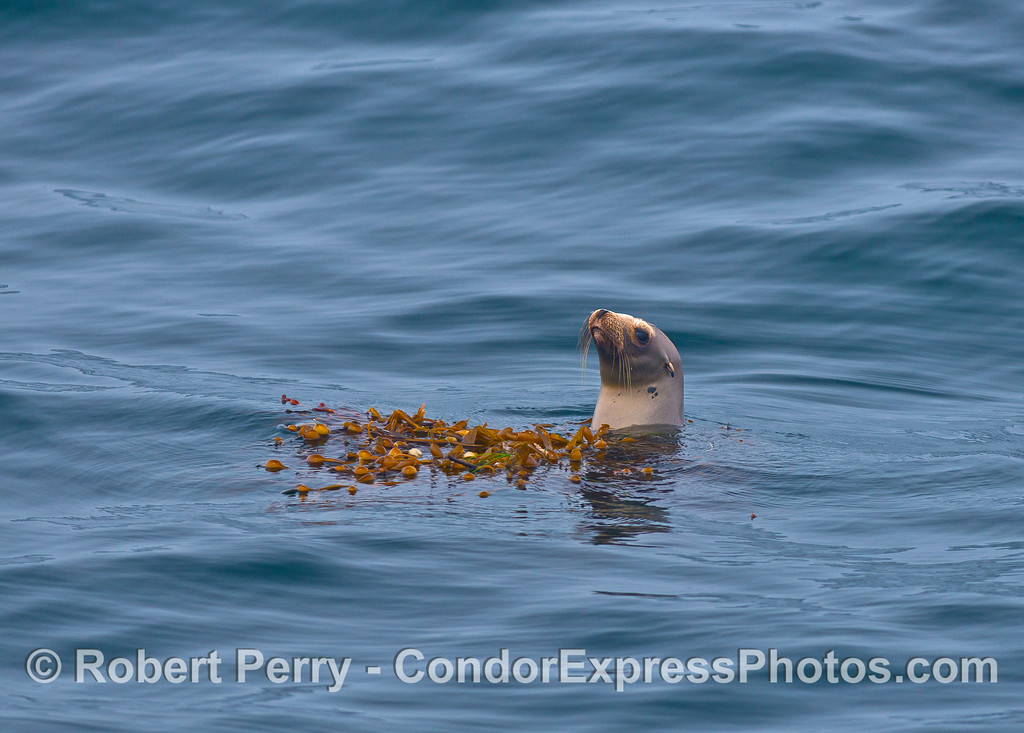 Image 2 of 2:  A California sea lion hugs a small drifting giant kelp paddy for partial camouflage in the middle of the Santa Barbara Channel.