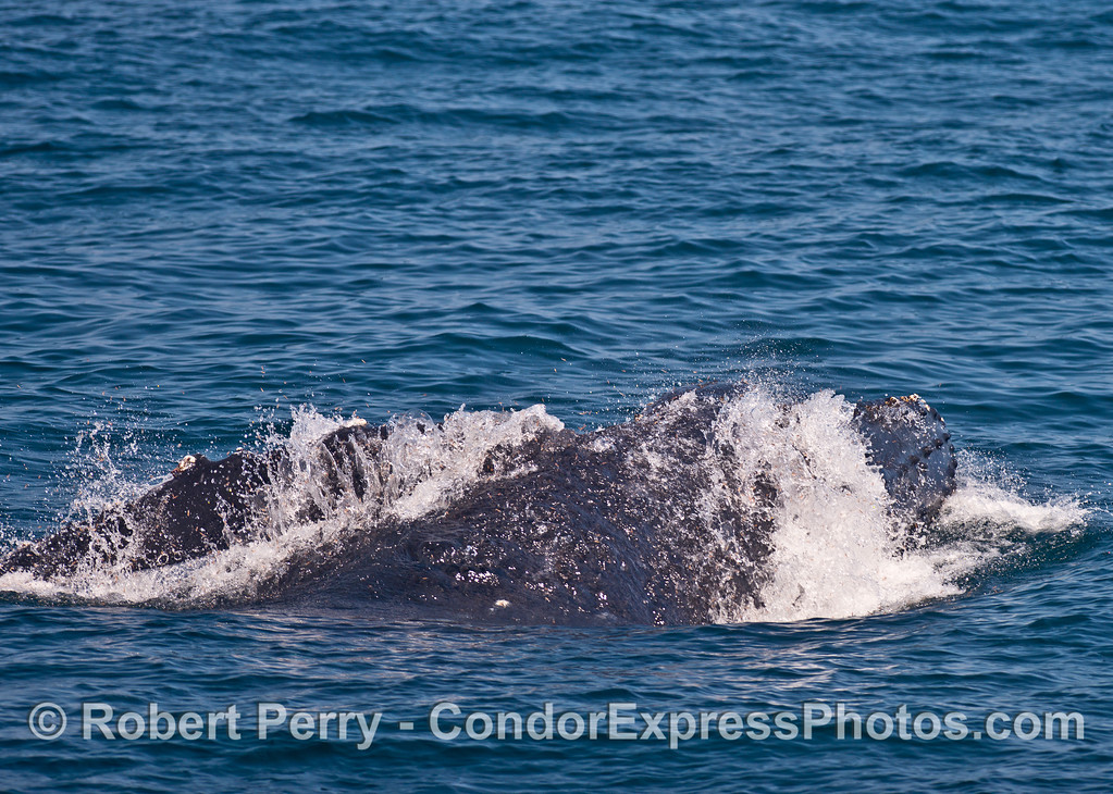 Image 1 of 3:  Surface lunge-feeding humpback whale.