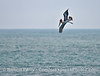 A brown pelican begins its dive to capture anchovies.