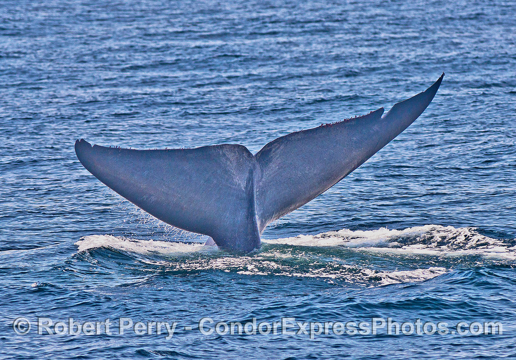 Image 4 of 5:  Giant blue whale tail flukes sequence.