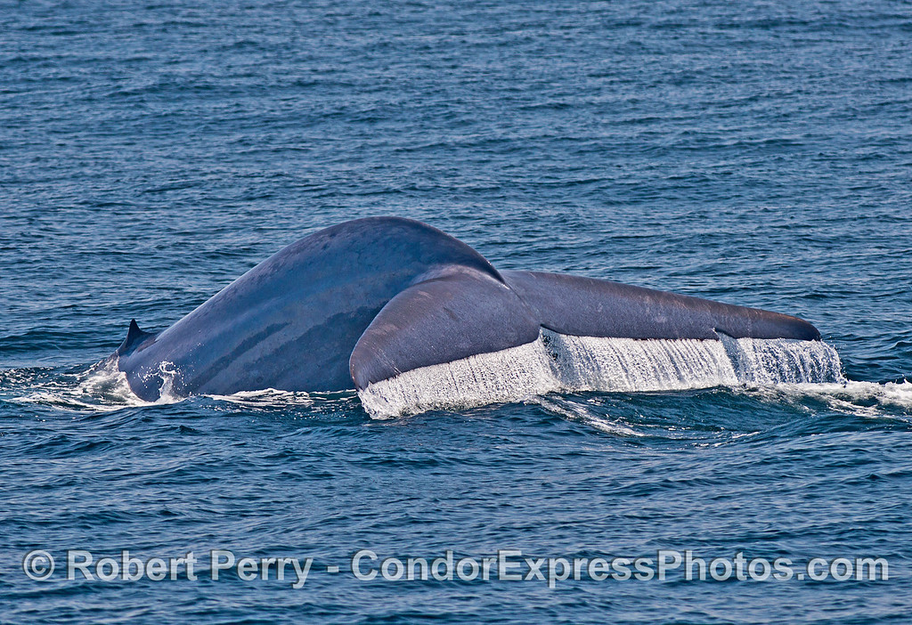 Image 1 of 5:  Giant blue whale tail flukes sequence.