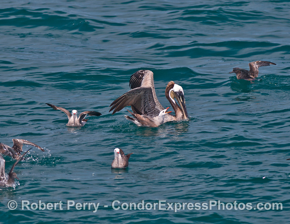 Image 1 of 2:  A Heermann's gull tries to bully a brown pelican into dropping its anchovies.