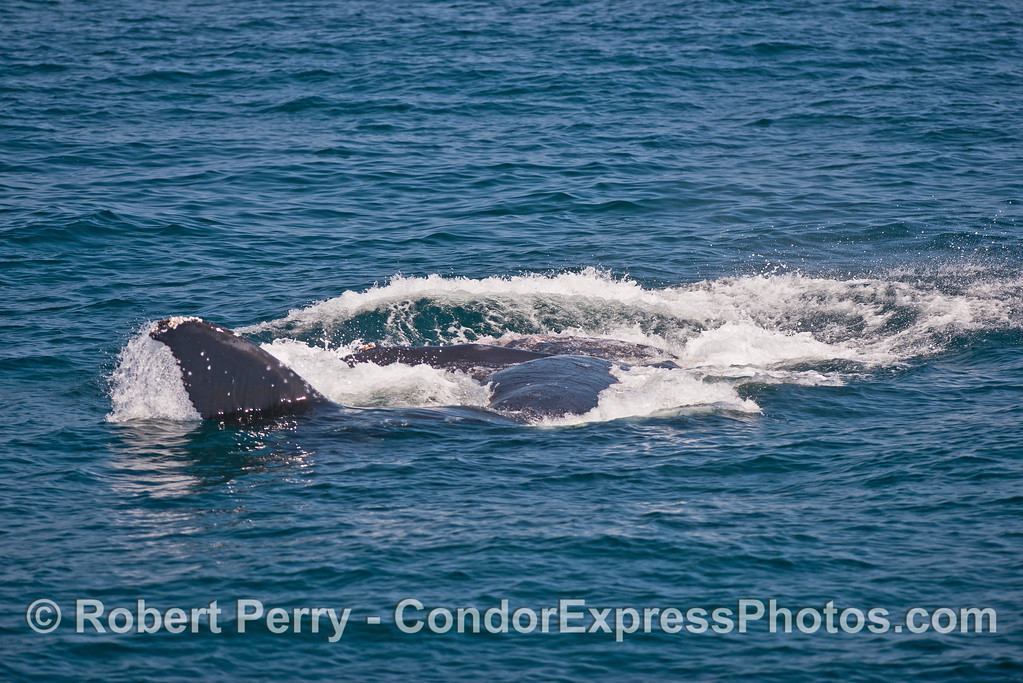 Image 2 of 3:  Surface lunge-feeding humpback whale.