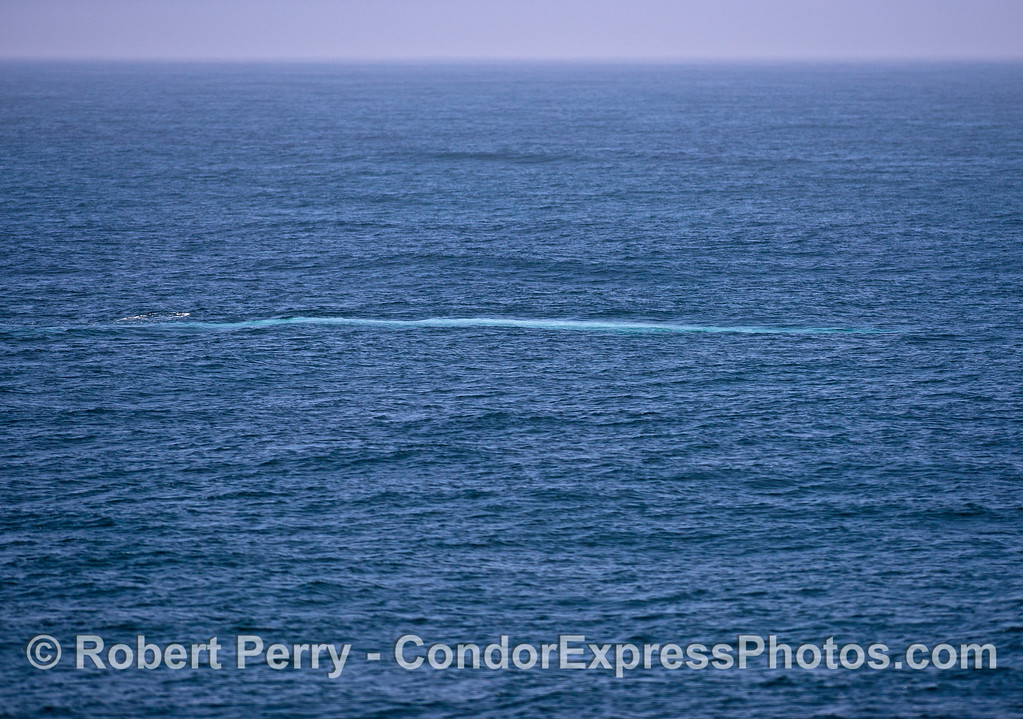 """Giant blue whale underwater creates a """"blue streak"""" and gives the otherwise gray colored  whale its """"blue"""" name."""