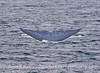 Blue whale disappears from view