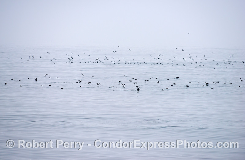 Black and white image on a foggy day with lots of sooty shearwaters