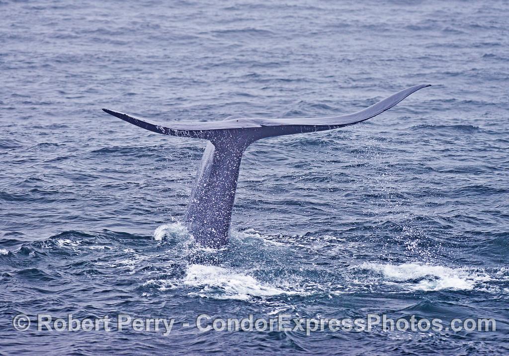 Blue whale tail flukes - slight upward bend to fluke tips