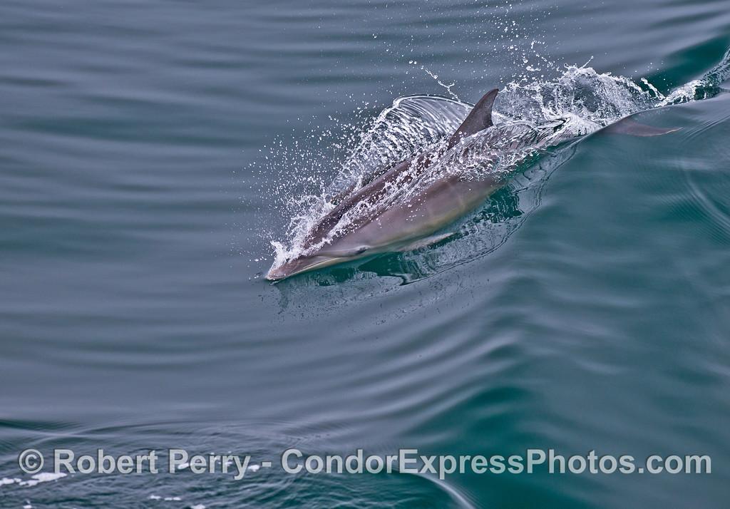 Long-beaked common dolphin calf.
