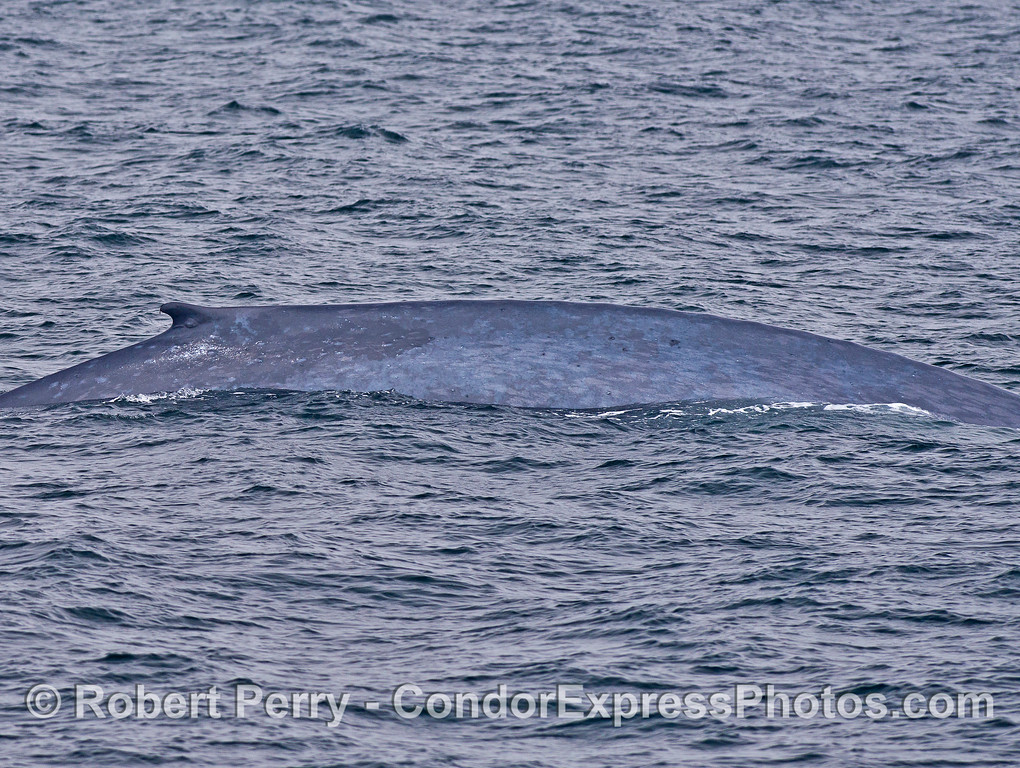Blue whale dorsal fin and flanks