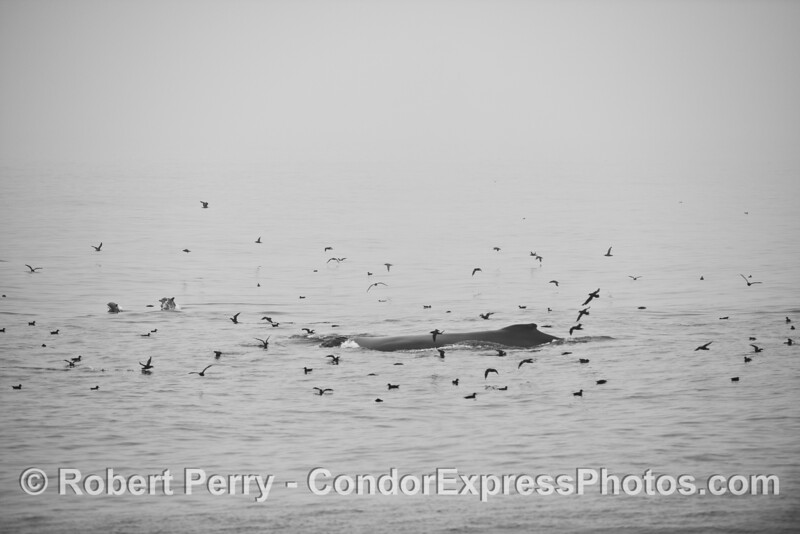 A black and white image of a humpback whale on the surface in a feeding hot spot surrounded by sooty shearwaters and long-beaked common dolphins in the fog.
