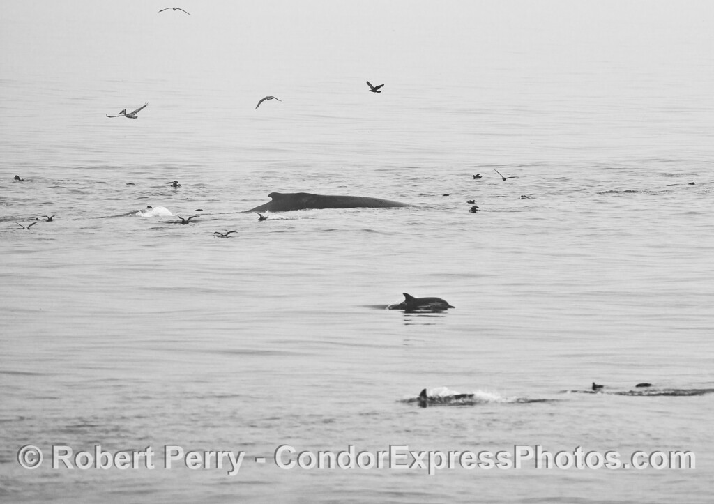 Black and white - Humpback whale, sooty shearwater, and long-beaked common dolphins on a hot spot.
