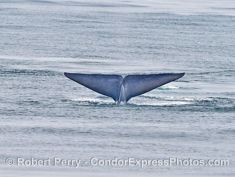 Blue whale tail flukes.