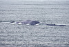 Camello a deformed blue whale...last seen on July 1, 2015.