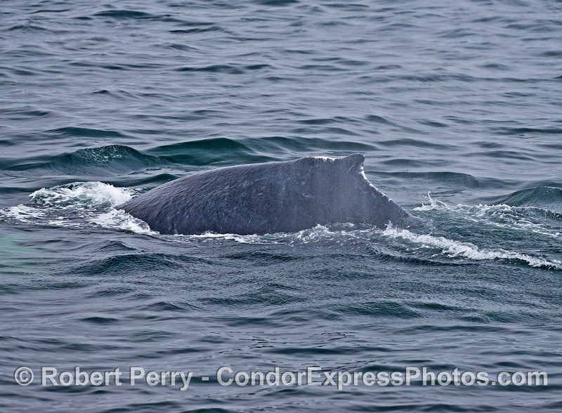 Perhaps a young male humpback whale with white scars across the dorsal fin and its hump.