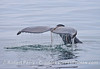Kelp draped across the tail flukes - humpback whale.