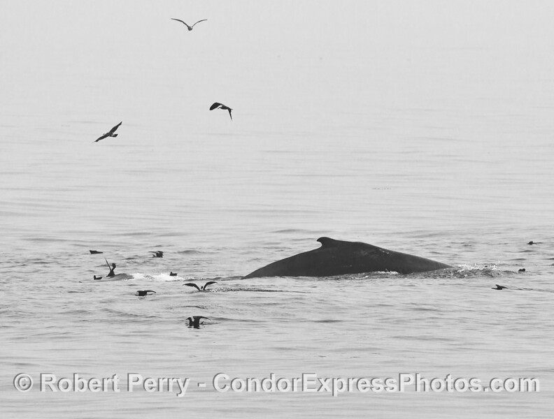 Black and white - Humpback whale, sooty shearwaters on a hot spot.