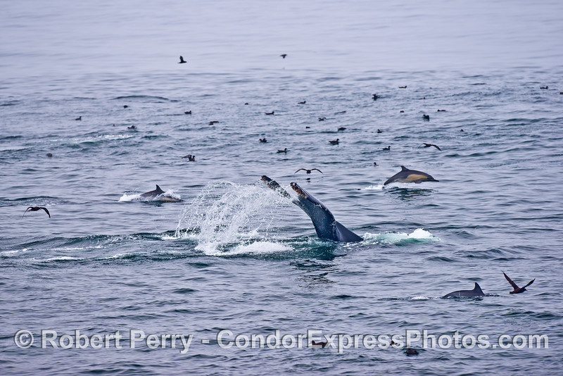 Humpback whale, sooty shearwater, and long-beaked common dolphins on a hot spot.