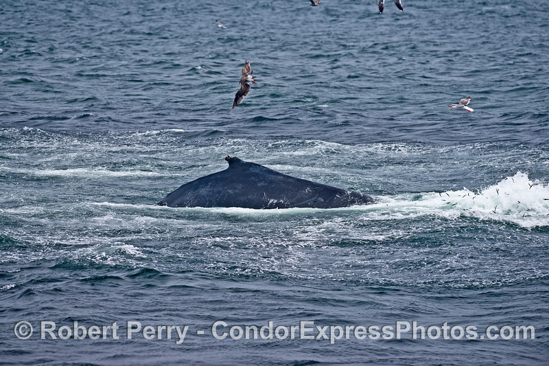 Side view of a humpback whale - post lunge profile.